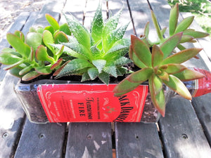 Gift Jack Daniels bottle cut into Bottle Garden with live Succulents -Tennessee Fire Red Planter