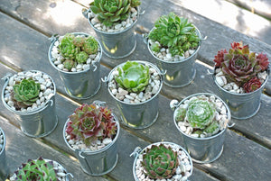 250 Succulent Favors - Bulk Small Succulents - Wedding or Shower Favors