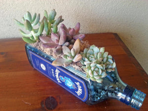 Bombay Sapphire Blue Bottle Garden - Windowsill Planter with Live Succulents