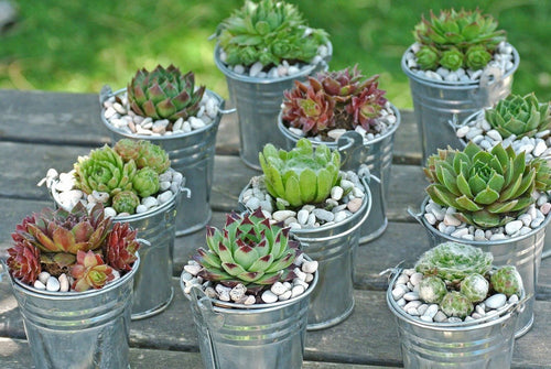 10 Hen and Chicks Succulent Favor By Looking Sharp Cactus