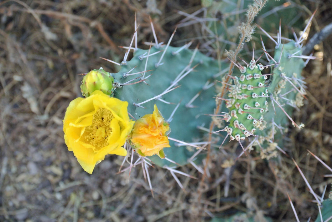 MYSTERY WHITE SPINED Prickly Pear - Prickly Pear Opuntia Cactus