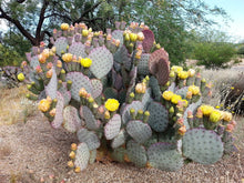 3 Purple Prickly Pear Pads - Opuntia Santa-rita -Cactus Cuttings