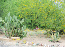 Extremely Large Prickly Pear Pads 3 - Opuntia Ficus-indica Prickly Pear Cactus - fs