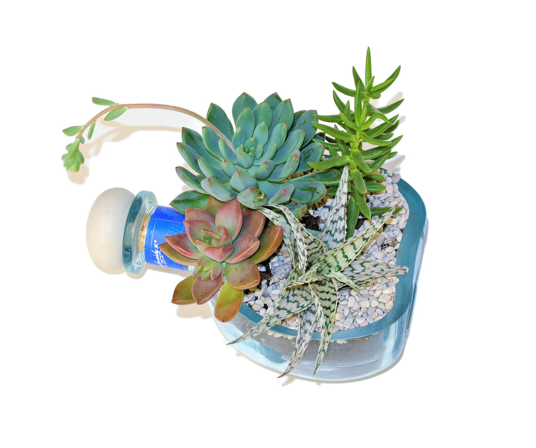 Don Julio Tequila Planter With Plants - Succulents in Blue Glass