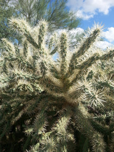 CHOLLA CACTUS Sampler of Desert Plant Cuttings