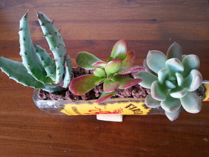 Fireball Whisky Succulent Planter with Beautiful Succulents - Bottle Garden