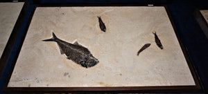 Natural Fossil Four Fish