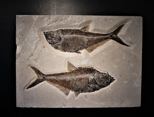 Wall Hanging Fossilized Fish