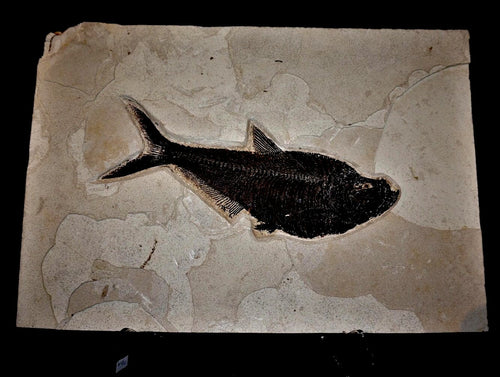 Genuine Fossilized Fish Specimen Wyoming