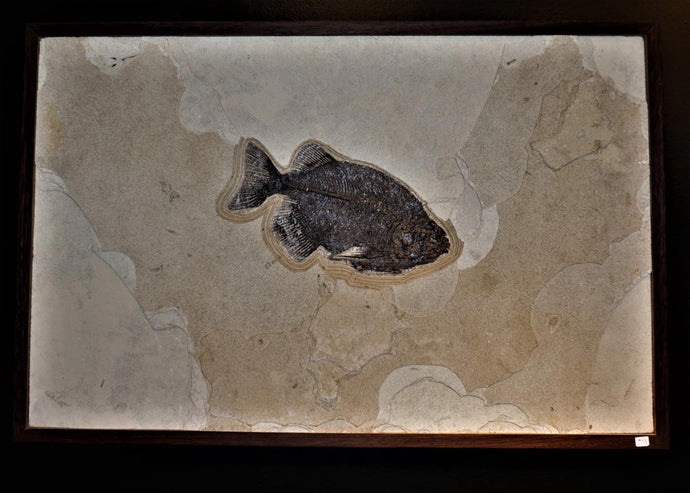 Green River Wyoming Fossilized Fish