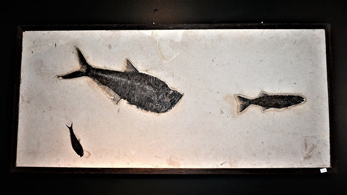 Authentic Wyoming Fossilized Fish