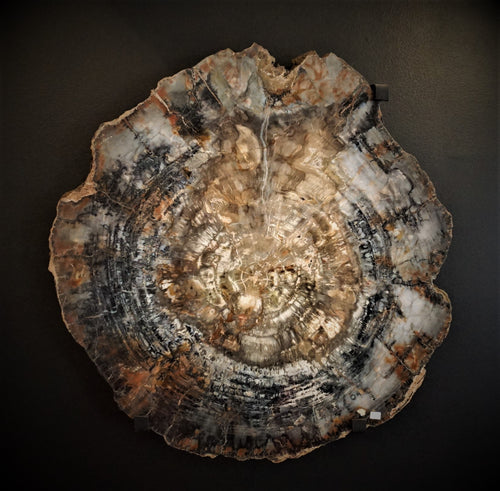 Arizonia Petrified Wood Slab Just Under 3 Foot In Diameter And 2 inches wide