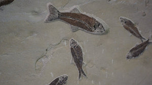 Close Up Of Fish Fossils Wyoming Origin