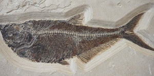 Fossilized Fish Wall Hanging