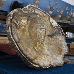 Petrified Wood Slice Spruce Natural Edge Brown Yellow Gray Cream Black Natural Tones
