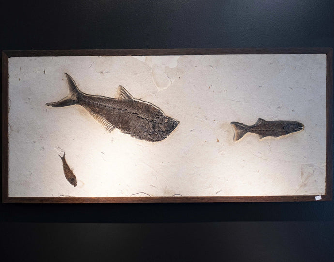 Preserved Fish Body  Fossilized Fish Wall Hanging