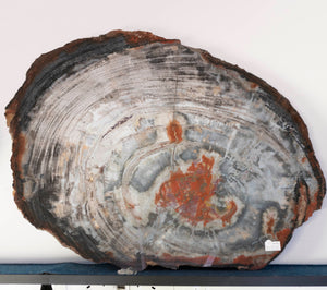 Petrified Wood Slab Slice Red White Tan Natural Tones