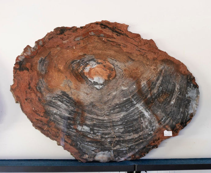 Petrified Wood Slab 3 Foot Wide Red Brown Cream Black And Gray Colors