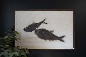 2 Genuine Fossilized Fish Wall Hanging