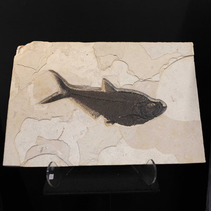 Petrified Fish Remains Wall Hanging