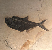 Close Up Single Petrified Fossilized Fish Remains Wall Hanging