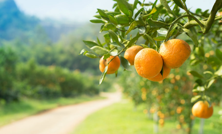 Is Kakadu Plum The New Orange? feature image
