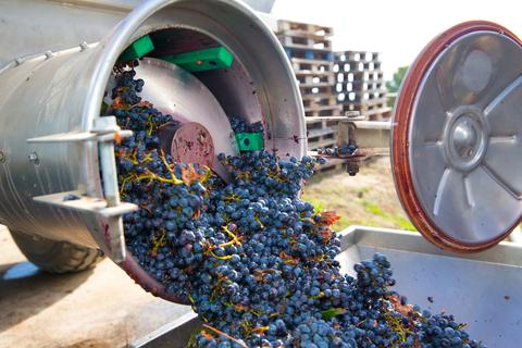 Harvest Series Blog 4 --- Processing Red Grapes