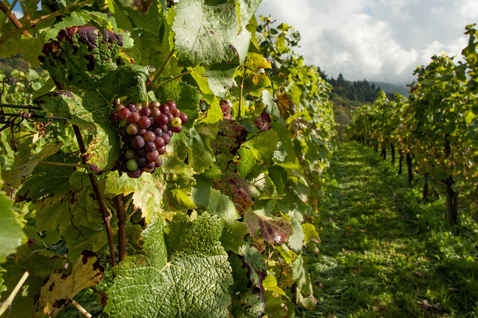 How Insects in The Vineyard Help With Wine Complexity