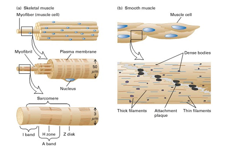 General structure of skeletal and smooth muscle