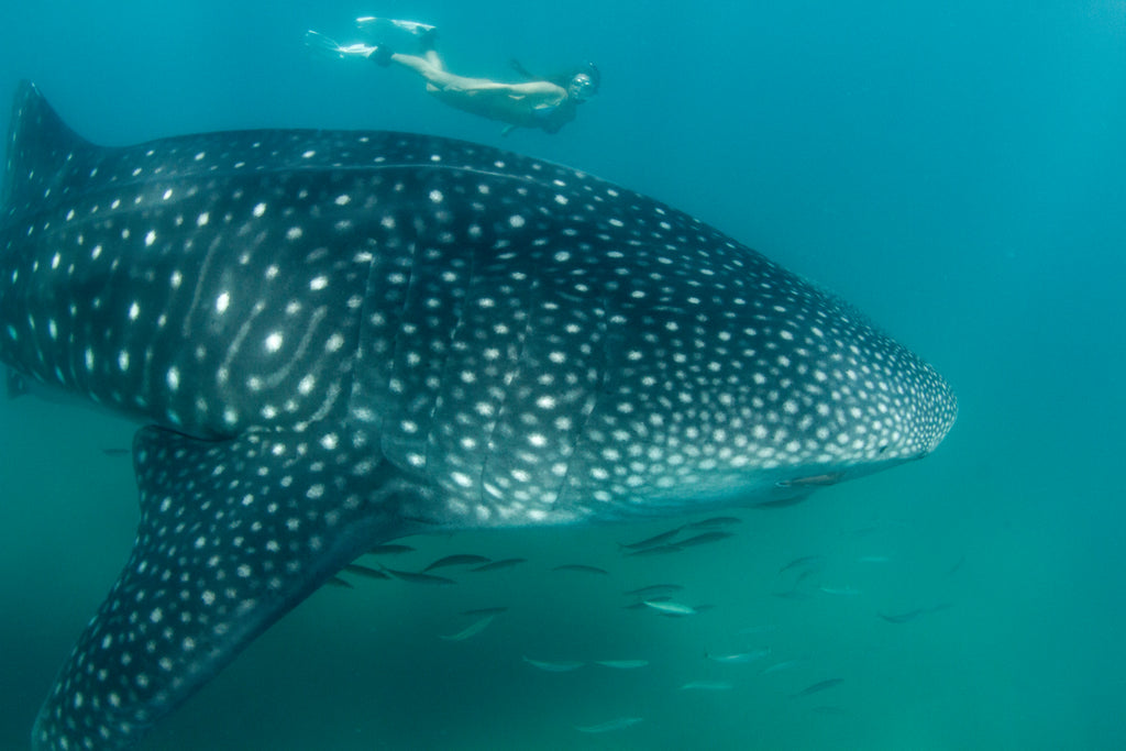 catherine diving with a whale shark