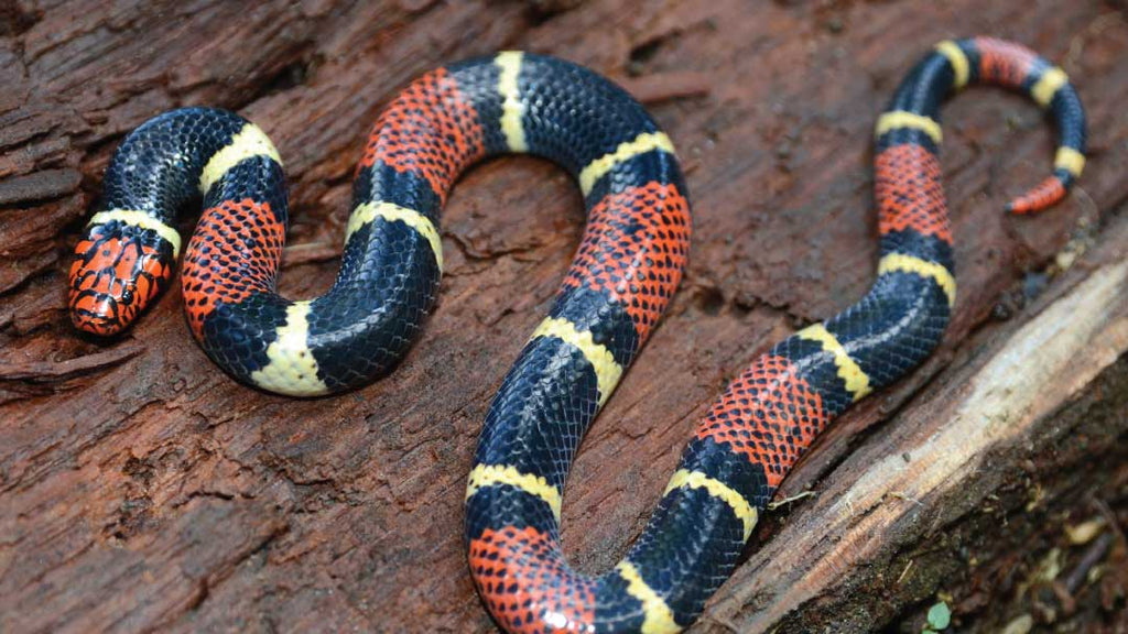coral-snake-on-wood-while-hunting