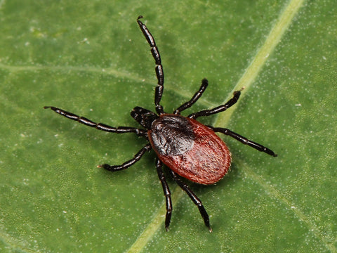 western blacklegged tick protection