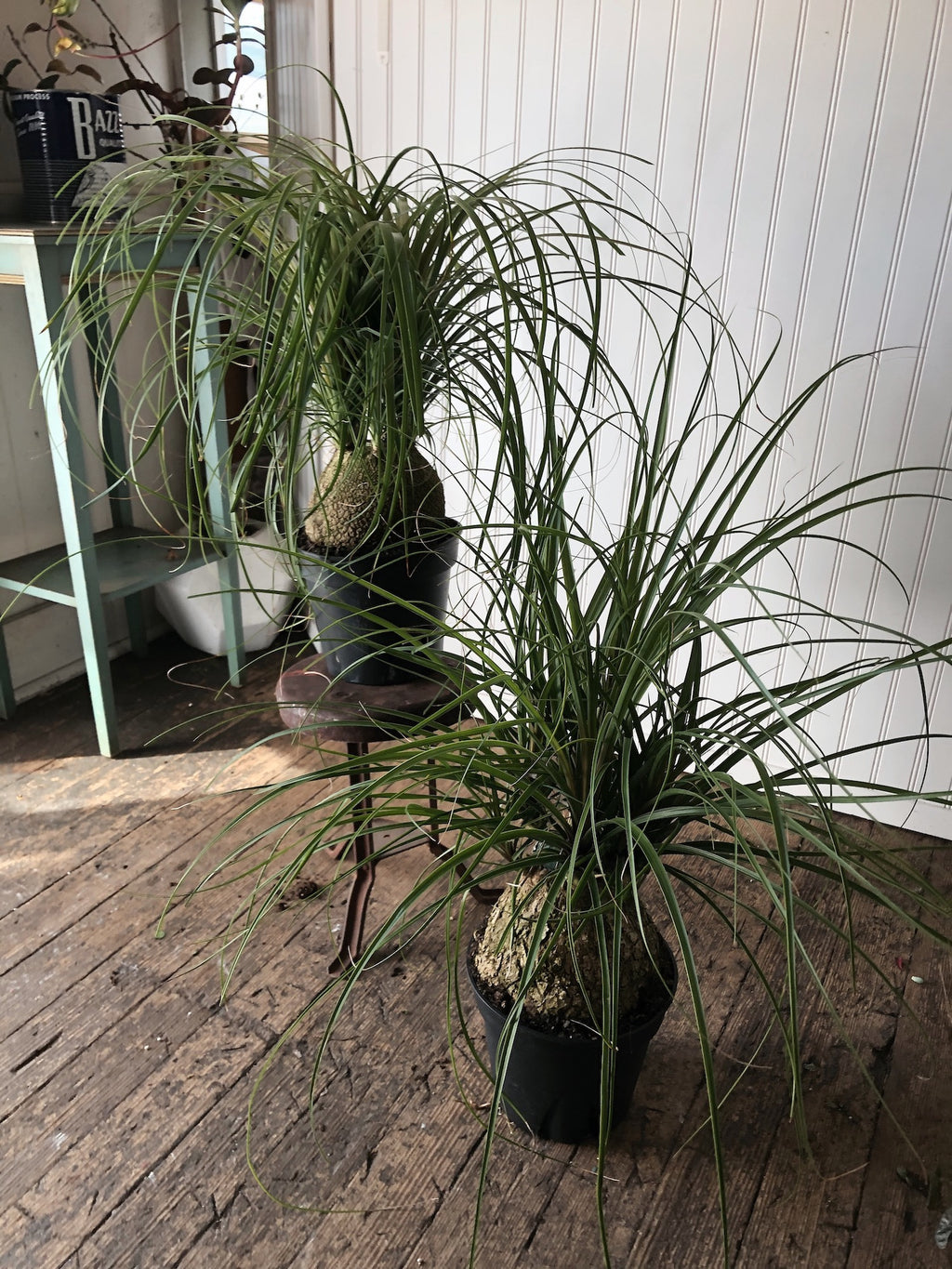 Large Ponytail Palm