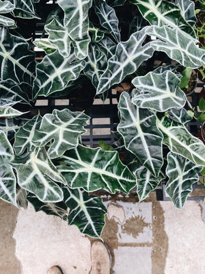 'African Mask' Alocasia