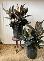 Burgundy Decora Rubber Plant