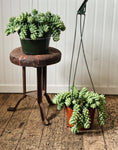 Burro's Tail Hanging Basket