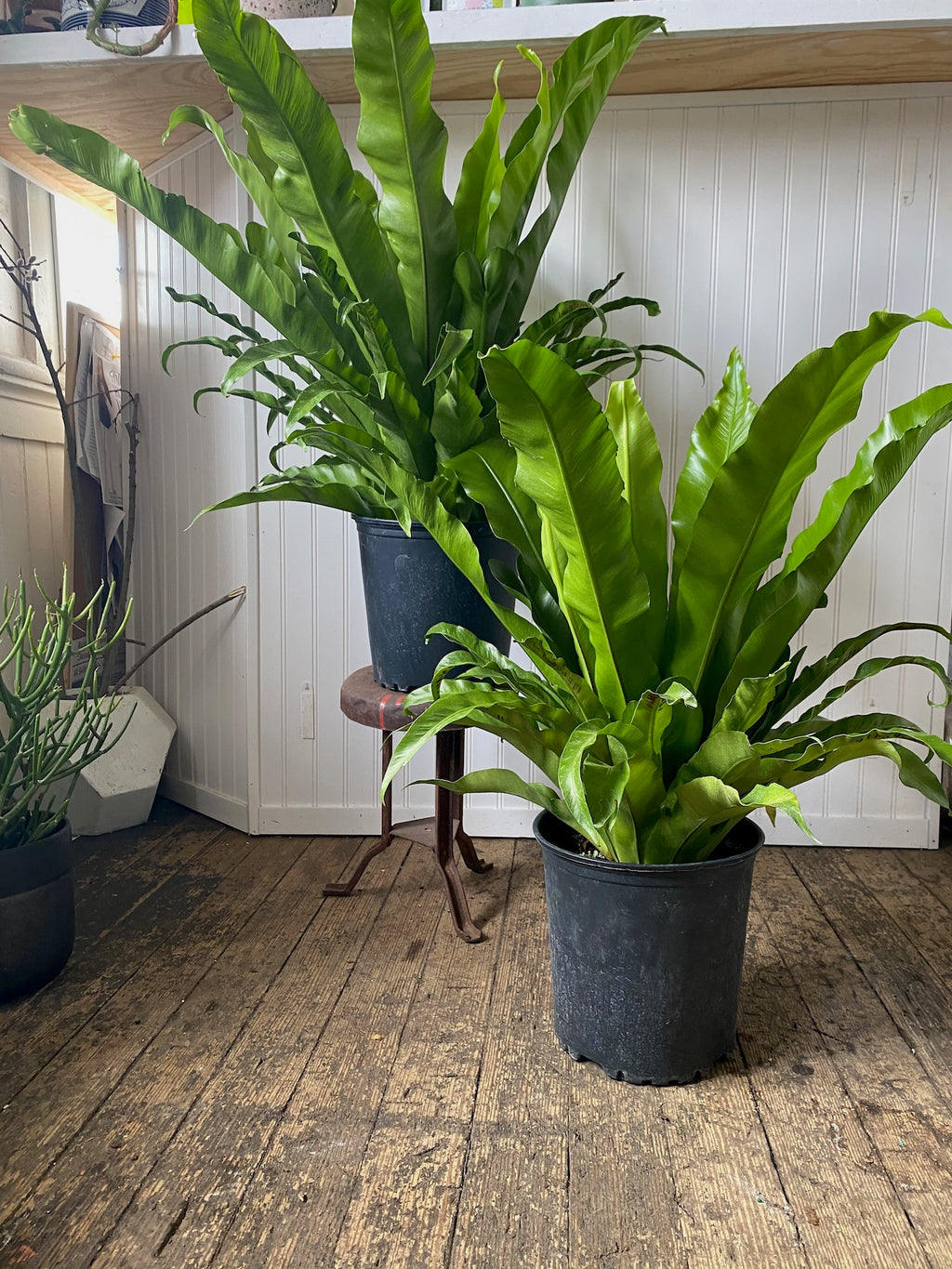 Floor-Standing Bird's Nest Fern