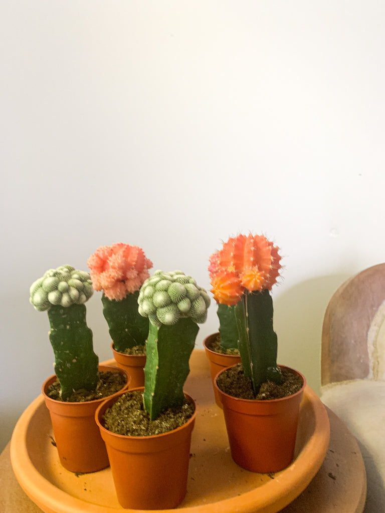 Grafted Cactus Assorted Colors (The bigger one)