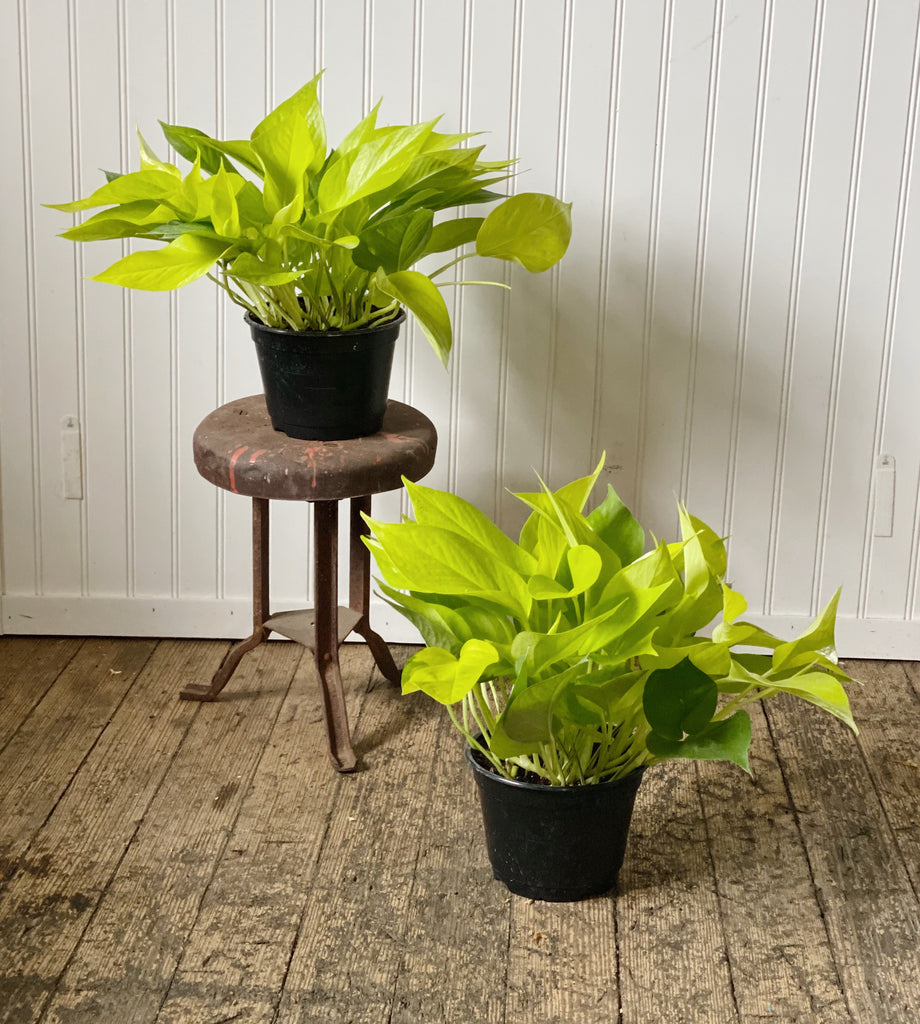 Neon Pothos (the little ones)