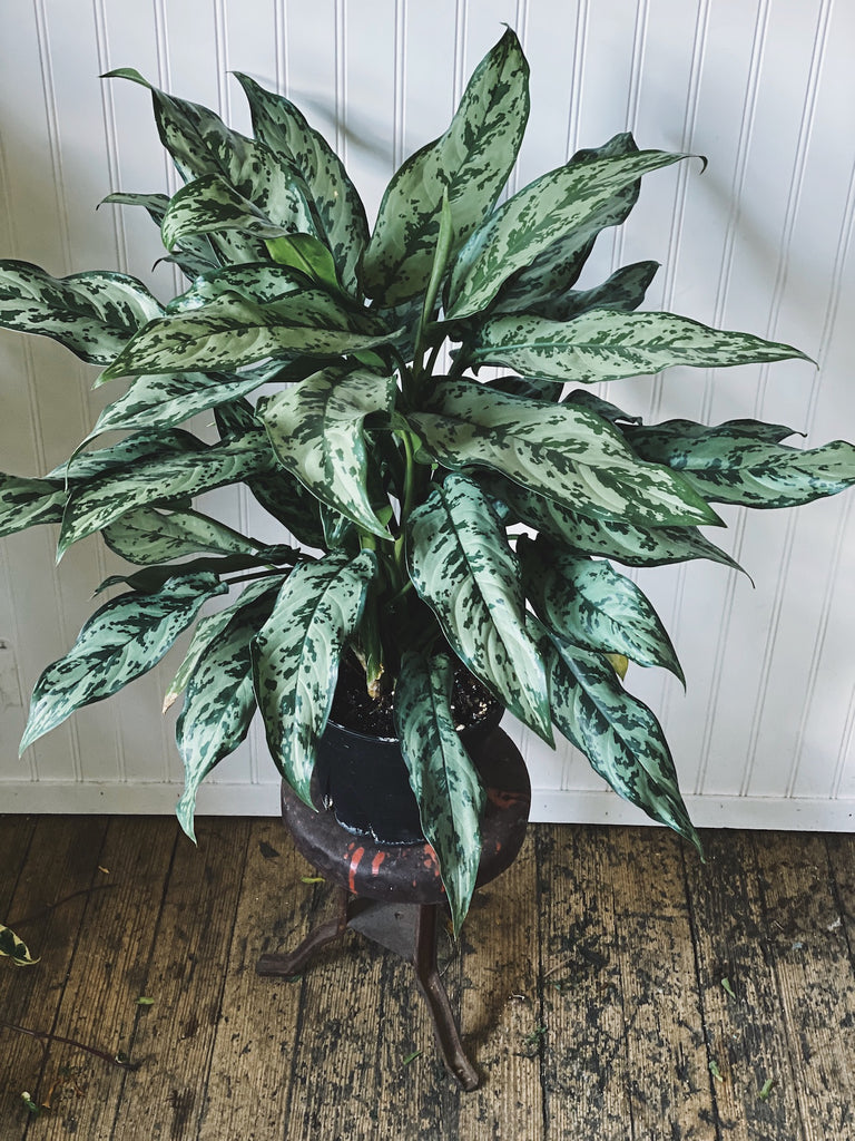 Large 'Maria' Chinese Evergreen