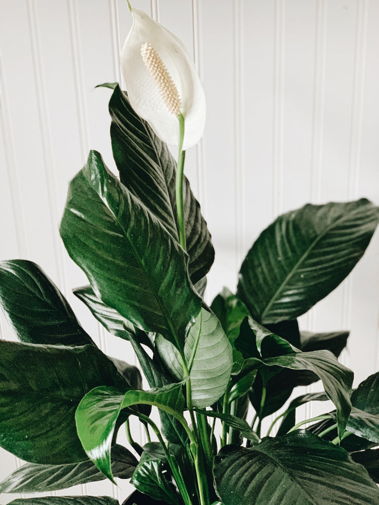 Peace Lily (larger size)