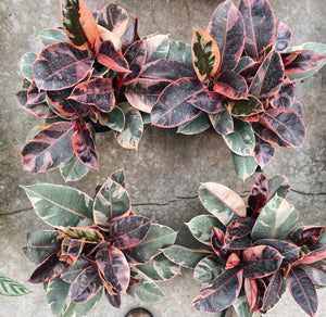 Tabletop Ruby Rubber Plant