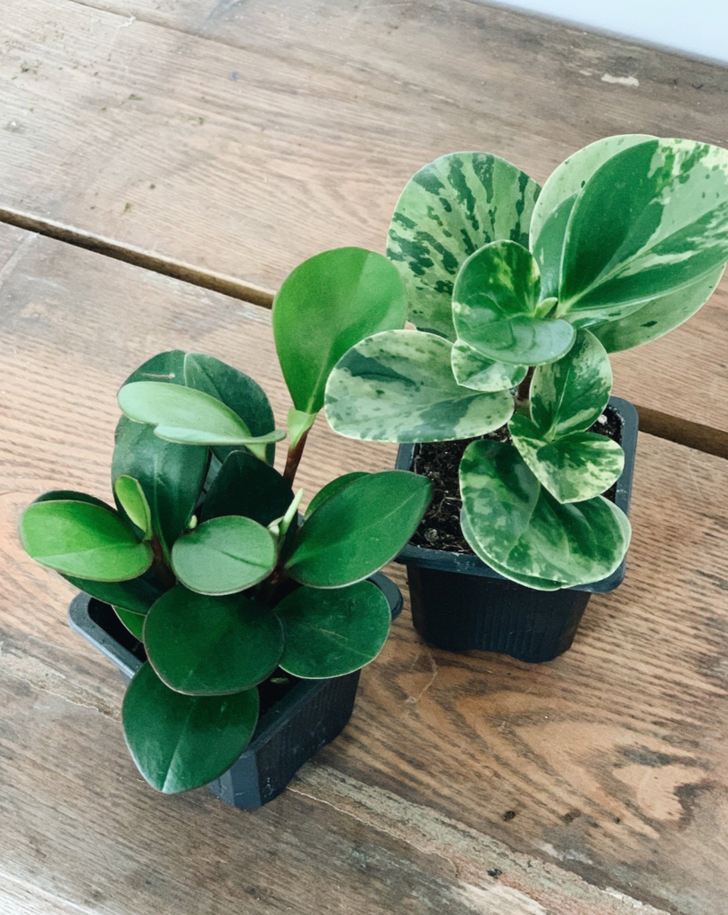 Solid Green and Variegated Peperomia