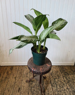 'Silver Bay' Chinese Evergreen