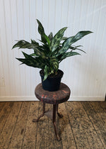 Striped Chinese Evergreen