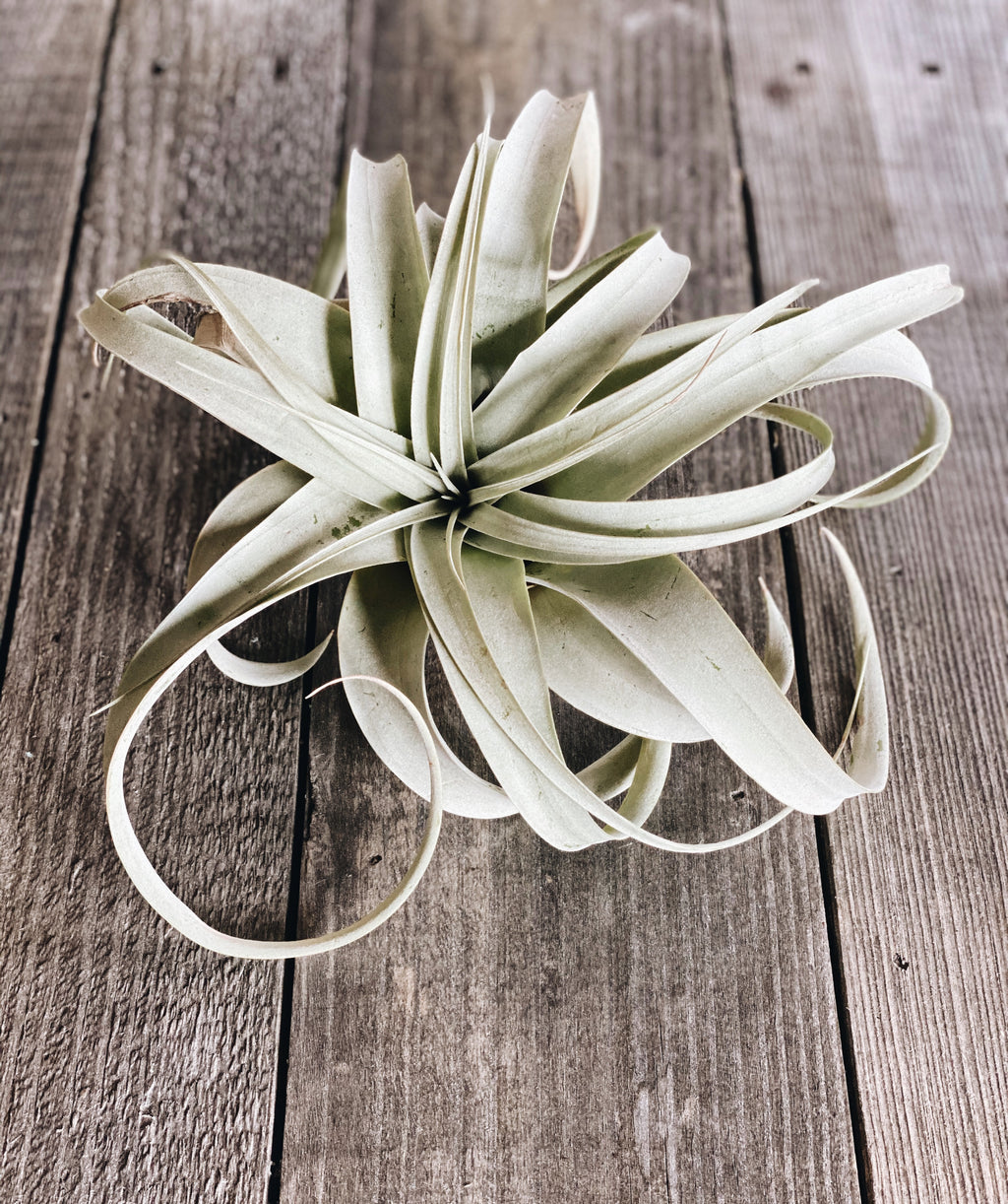 Xerographica Airplants