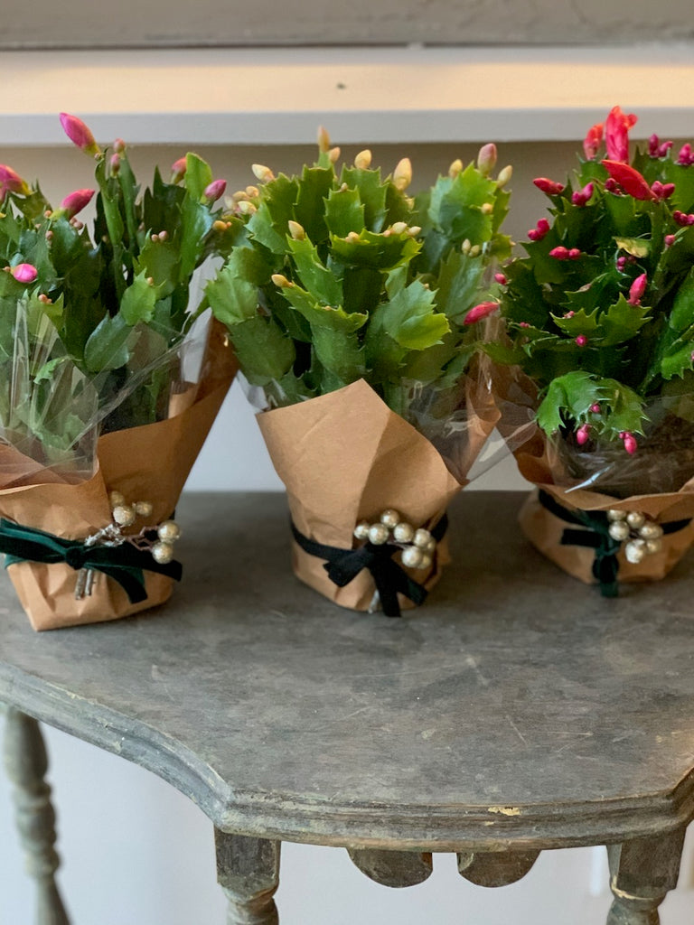 Wrapped Christmas Cactus