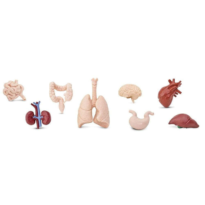 Human Organs TOOB® - Safari Ltd®
