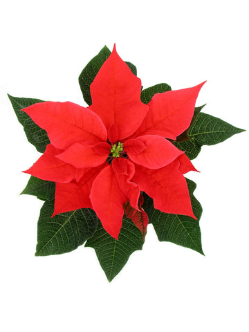Poinsettia The Patron Plant Of Christmas East Fork
