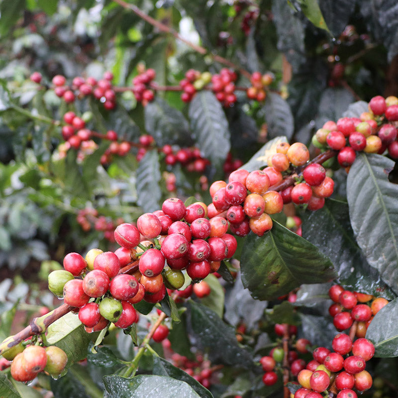 Ripe, red, juicy coffee berries grow on the plant